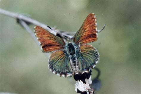The Recovery Plan for the Bathurst Copper Butterfly