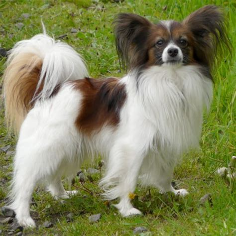 59 Best Small Dog Breeds That Stay Small Forever