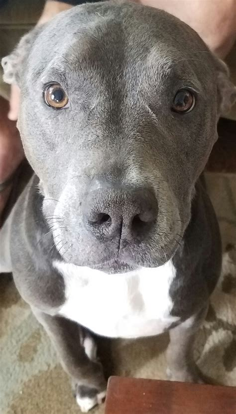 Percy, the Perfect Pitbull - Doggos N' Puppers - rare