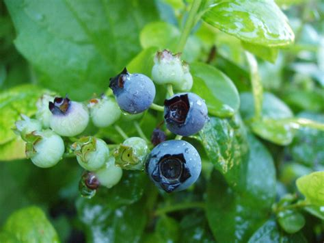 Blues Legends: The Best Tasting Blueberries to Grow | Espoma